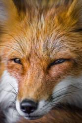 Reynard the Fox   Reineke der Fuchs by StefanPrech
