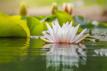 Water lily a la Monet by StefanPrech