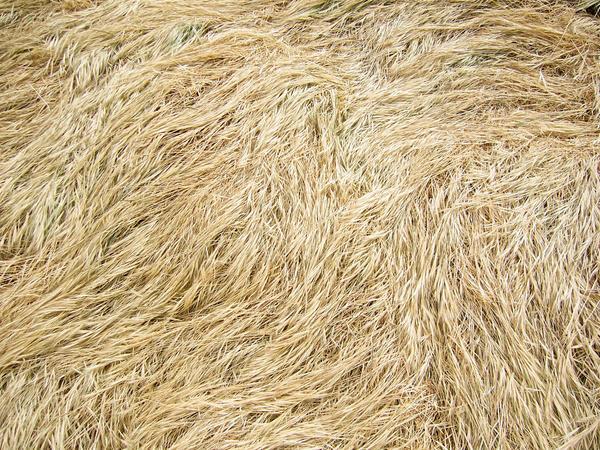 Dry Long Grass - Texture
