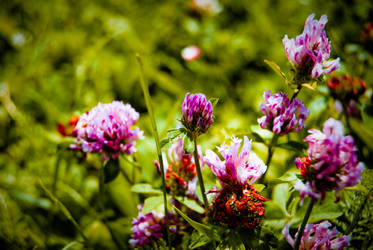 trifolium by fildasx