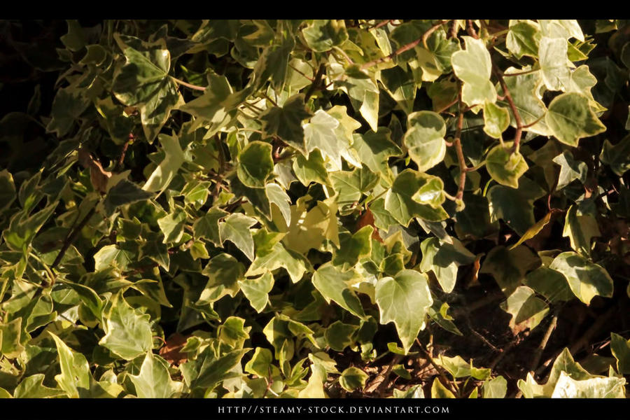 ivy - streamy stock by streamy-stock