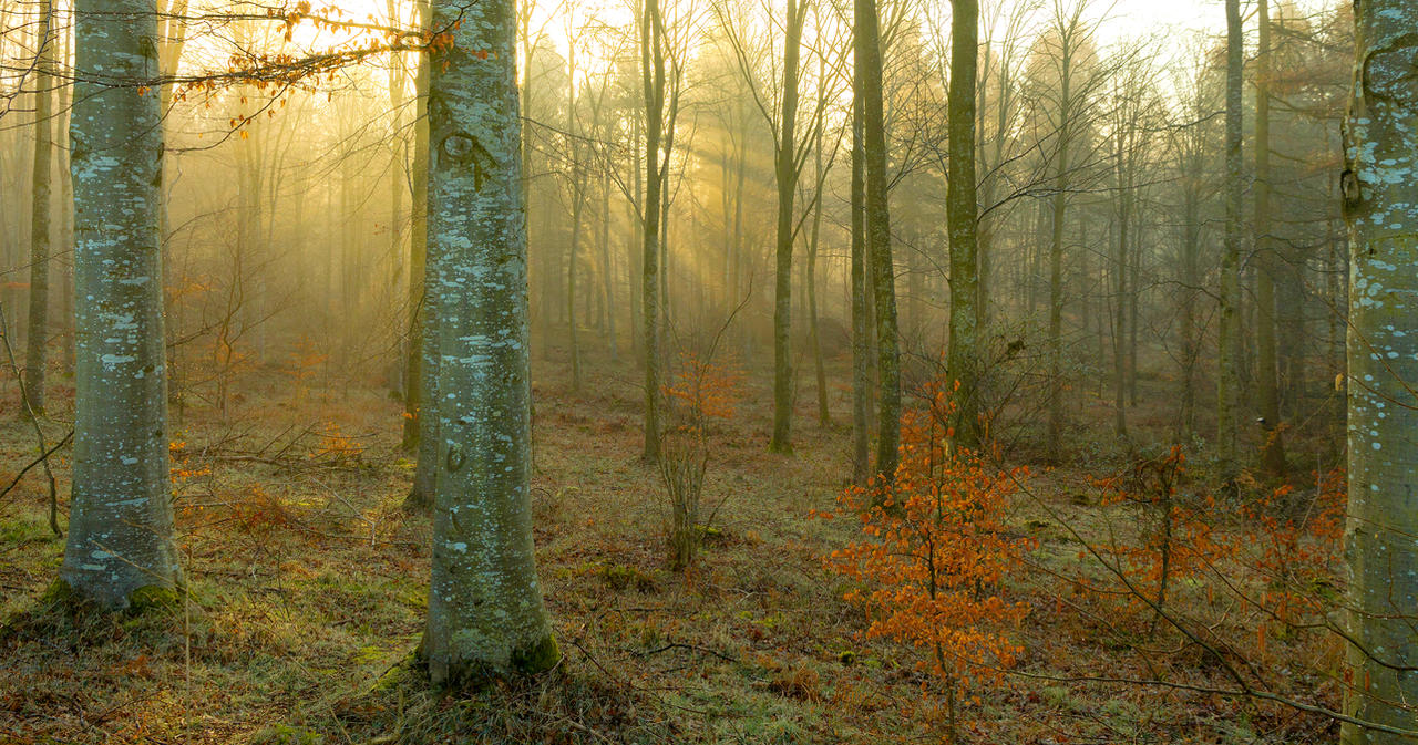Beech Woods by bongaloid