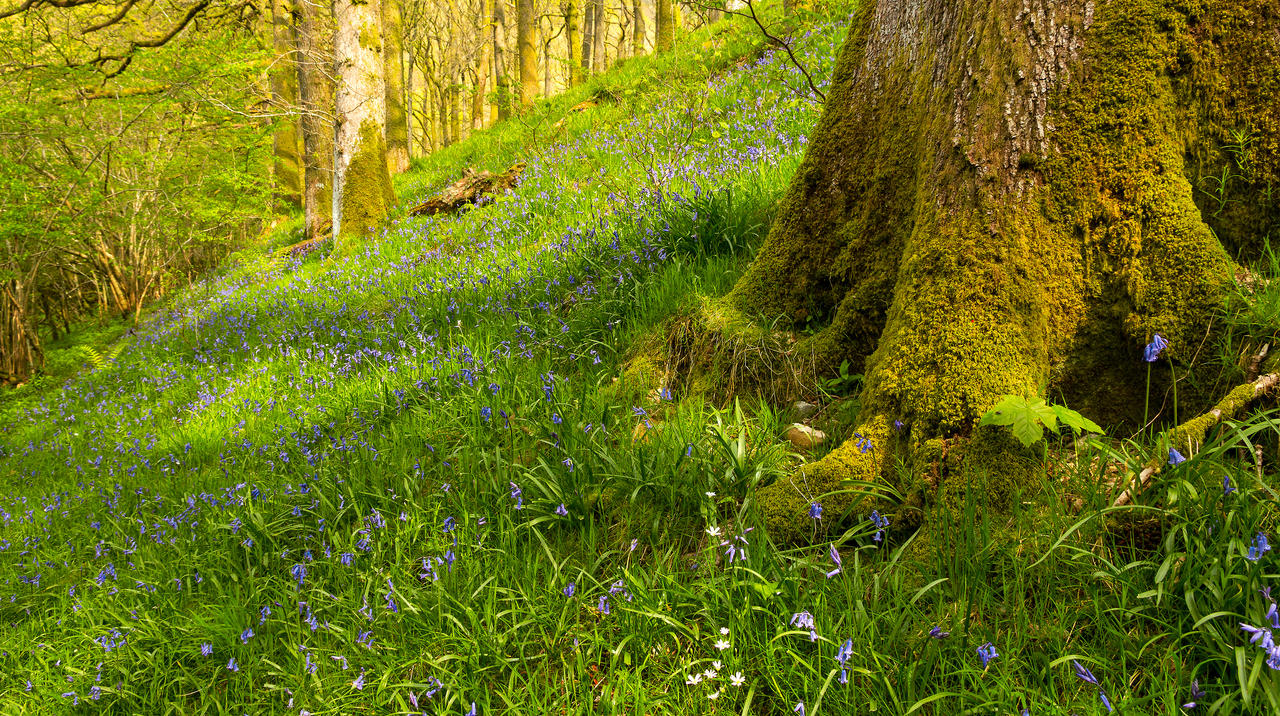 Bluebells by bongaloid