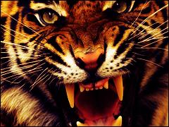 Tiger by ADYD