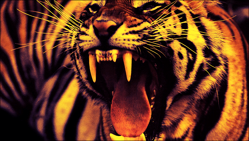 Colorful Tiger Face Wallpaper Crazywidow Info