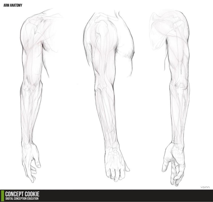 Anatomy Resource: The Arms by ConceptCookie