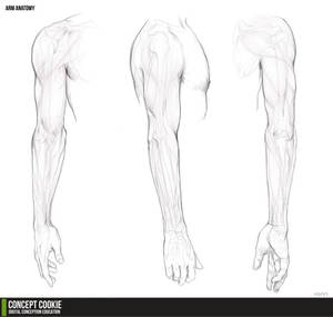 Anatomy Resource: The Arms