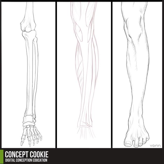 Anatomy Resource: Legs by ConceptCookie