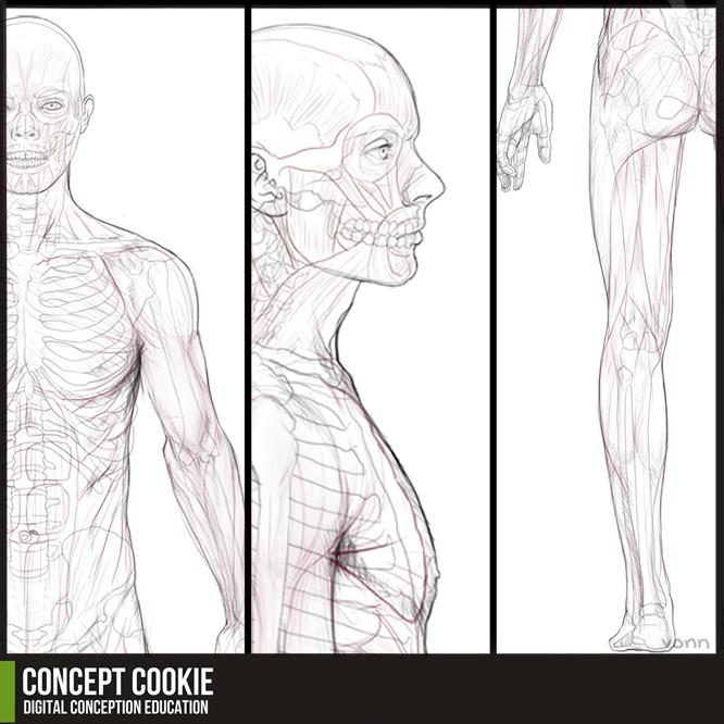 Anatomy Resource: Full Male Body by ConceptCookie