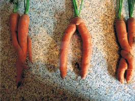 Best Carrots ever!