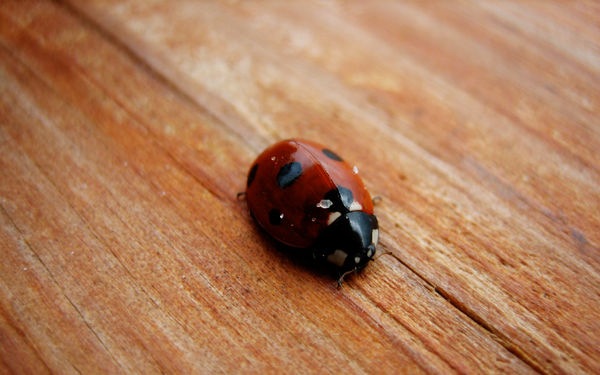 Lady Bug on wood