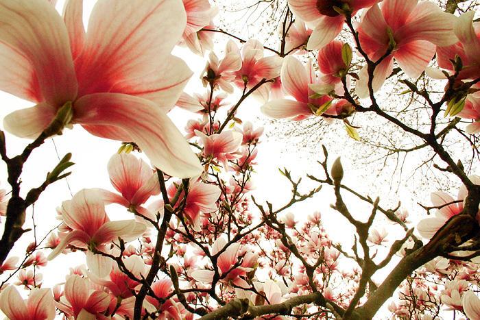 Magnolia Lomo by tch