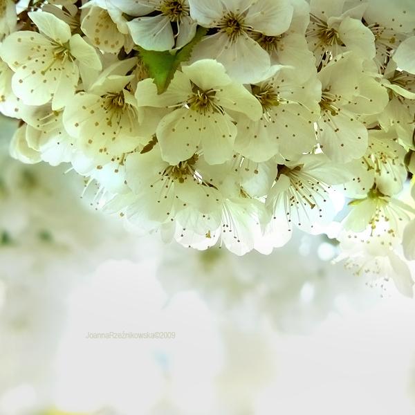 wedding spring by JoannaRzeznikowska