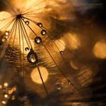 ...delicate tears XVI... by JoannaRzeznikowska