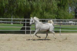 White Arabian by AshleyShyD