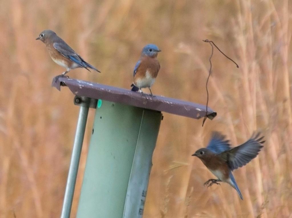 Bluebird's Nesting Box by HaleyGottardo