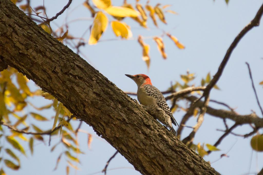 Red-bellied Woodpecker by HaleyGottardo