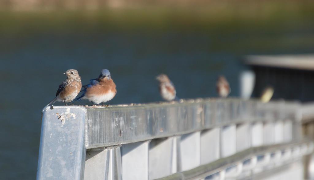 Bluebirds on Fishing Pier by HaleyGottardo