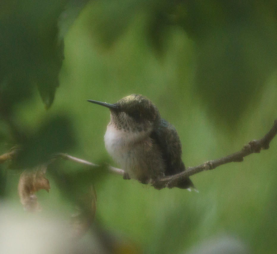 Pollen Dusted Hummingbird by HaleyGottardo