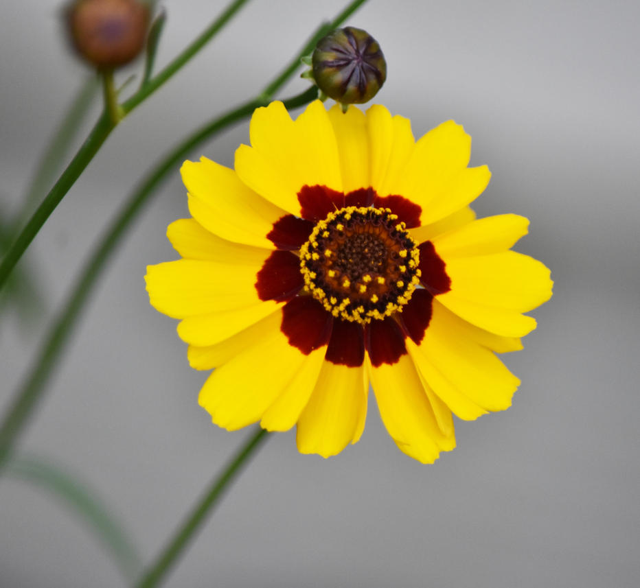 Yellow Flower With Red Center 2 By Haleygottardo On Deviantart