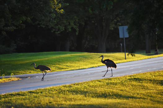 Why Did the Cranes Cross the Road