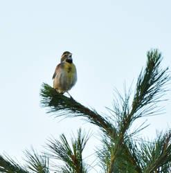 Dickcissel in Treetop 1