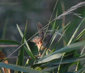 Sedge Wren 5