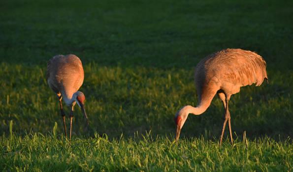 FermiLab Village Sandhill Cranes 2