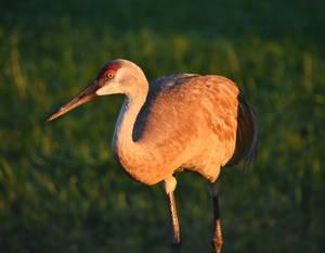 FermiLab Village Sandhill Cranes 3