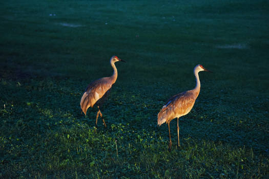 FermiLab Village Sandhill Cranes 6