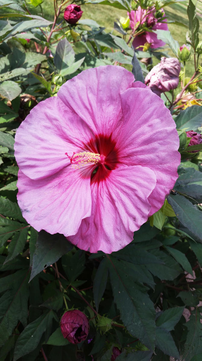 Giant Pink Hardy Hibiscus 2 By Haleygottardo On Deviantart