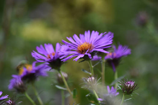 Aster at MT ST Marys Park 3
