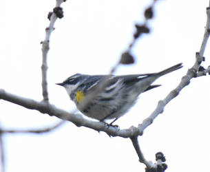 Yellow Rumped Warbler in April 5 by HaleyGottardo