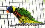 Green-Naped Lorikeets at ZooTampa 10