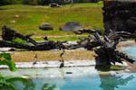 White Ibises at Busch Gardens 18