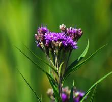 Purple Flowers at Mallard Lake in July 3