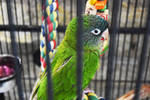 Blue-Crowned Conure 3