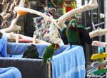 Eclectus Parrot Male 9