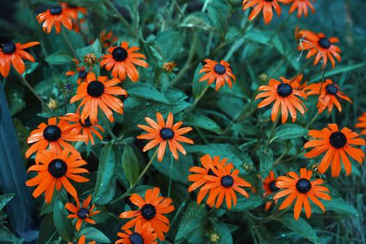Colorized Orange Coneflowers