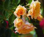 Orange Roses at Cantigny Park in August
