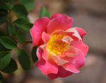 Pink Roses at Cantigny Park in August 3