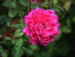 Pink Roses at Cantigny Park in August 12