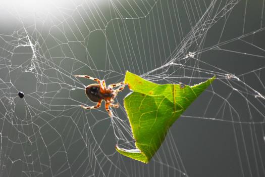Garden Orbweaver Spider in September 4