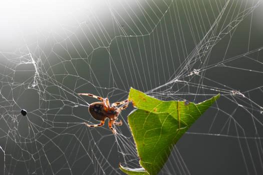 Garden Orbweaver Spider in September 5