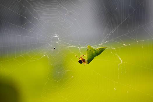 Garden Orbweaver Spider in September 6