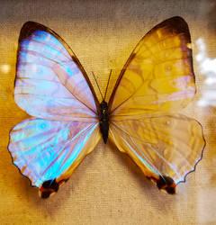 Blue Morpho Butterflies 4