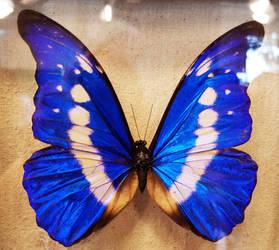 Blue Morpho Butterflies 6