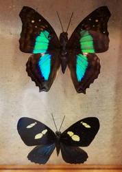 Butterflies and Moths at the Sandwich Fair 15