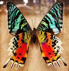 Sunset Moth 1