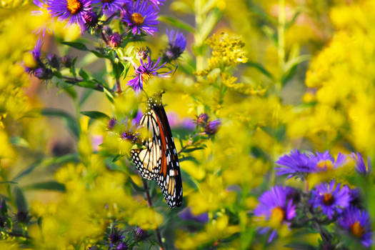 Monarch Butterfly at St James Farm in Sept 1